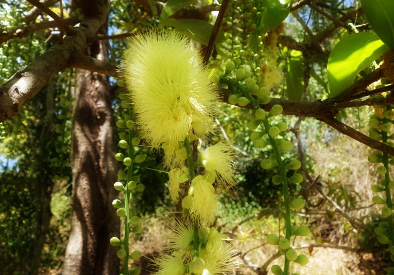 Barirngtonia calyptrata in rainforest